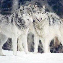 A BIG Win For The Wolves!!  Federal Protections Restored For Northern Rockies' Wolves