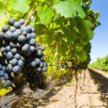 organic certified wine sulfites
