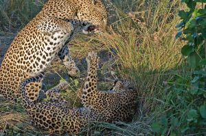 Leopards-mating-at-LBC-6