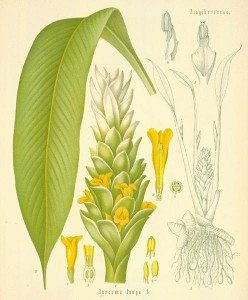 Tumeric Plant In the Spice Cabinet LuxEco Living
