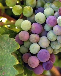 organic certified wine labeling