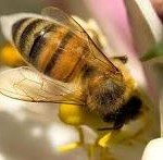 Bees Harvesting Honey