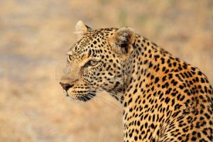 30778390-portrait-of-a-leopard-panthera-pardus--sabie-sand-nature-reserve-south-africa